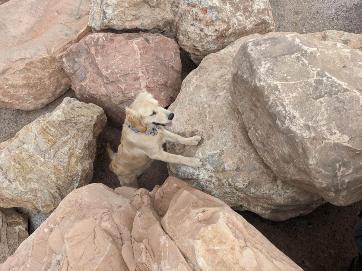 "Wahsatch, Robinson's Golden Retriever, on a rubble pile in Salt Lake detecting live human scent, part of the ""all human scent"" training"